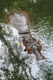 Le grand hippopotame reste dans la rivière