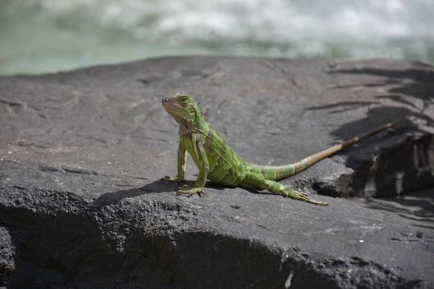 Grand iguane vert sur un rocher à aruba.