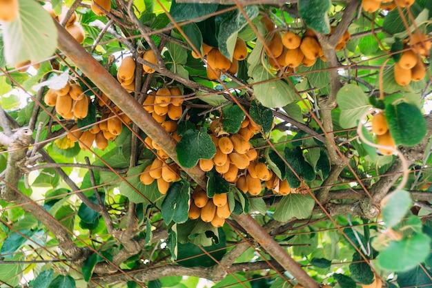Grand kiwi brun mûr accroché à un arbre, sur le toit du gazebo