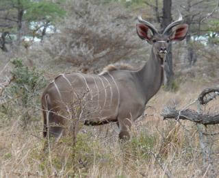 Le grand koudou