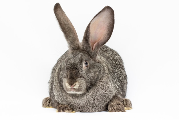 Grand lapin gris isolé sur fond blanc.