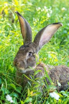 Grand lapin gris race vander sur l'herbe verte. le lapin mange de l'herbe. élevage de lapins à la ferme