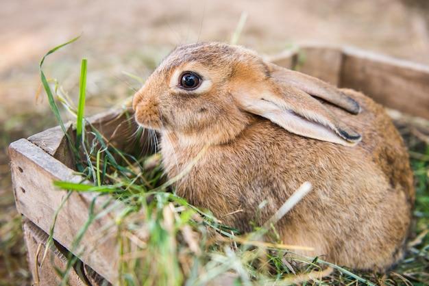 Grand lapin se tient dans la boîte en bois avec du foin.
