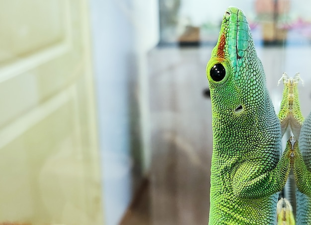 Le grand lézard vert sur le verre se trouve en gros plan