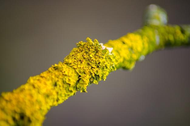 Grand lichen posé sur une branche d'arbre