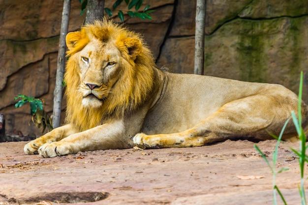 Grand lion couché sur le rocher, nature