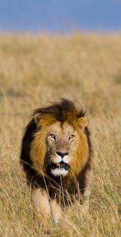 Un grand lion mâle avec une crinière magnifique se dirige vers la savane. parc national. kenya. tanzanie. masai mara. serengeti.