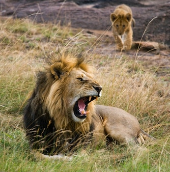 Grand lion mâle avec petit