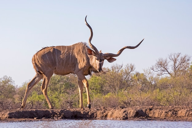 Grand mâle kudu à water hole botswana, africa