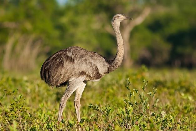 Grand nandou marchant dans la savane à partir de la vue latérale dans le pantanal, brésil.
