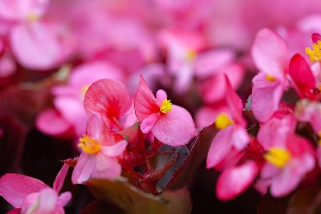 Un grand nombre de belles fleurs roses dans le parterre de fleurs comme fond floral. belle fleur abstrait de la nature.