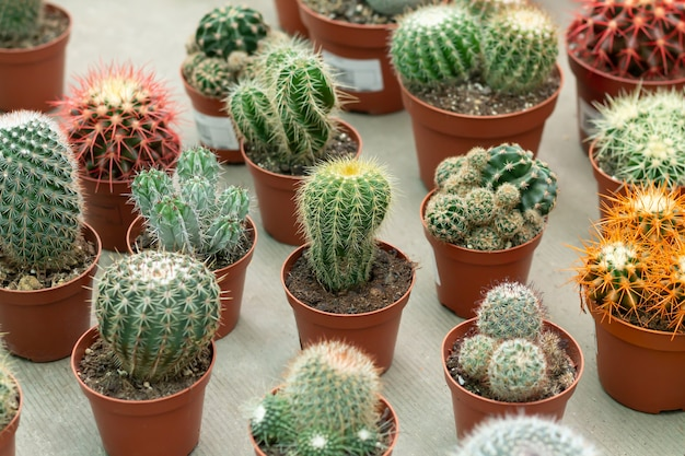Un grand nombre de plantes de cactus en pot différentes en serre