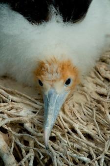 Grand oiseau frégate (fregata minor) dans le nid, île seymour nord, îles galapagos, équateur