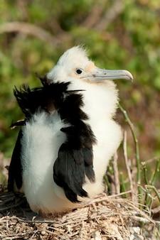 Grand oiseau frégate (fregata minor) dans son nid, baie de darwin, île genovesa, îles galapagos, équateur