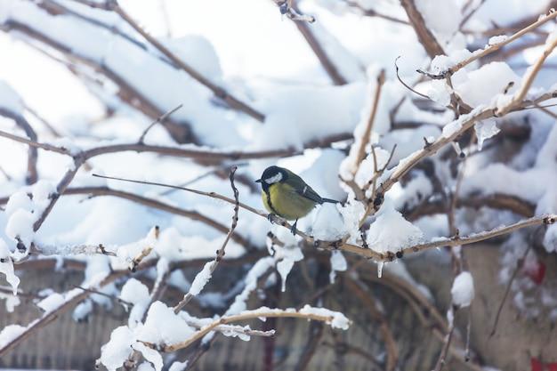 Grand oiseau mésange assis sur une boîte de graines. saison d'hiver neige froide