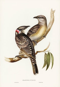 Grand oiseau tonnelier (chlamydera nuchalis) illustré par elizabeth gould