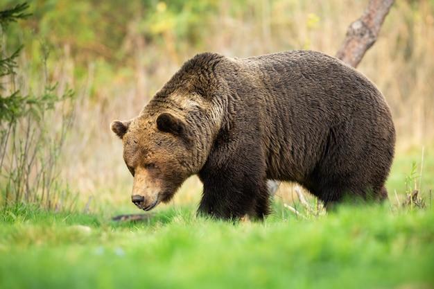 Grand ours brun mâle marchant dans la prairie de printemps avec la tête en bas et reniflant