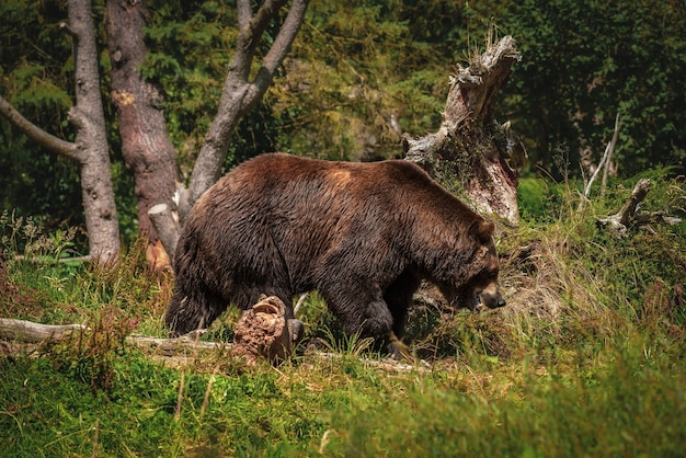 Grand ours brun se promenant sur le chemin