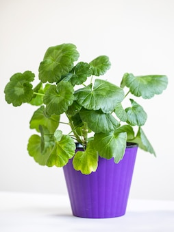 Grand pélargonium vert en pot, plante d'intérieur.
