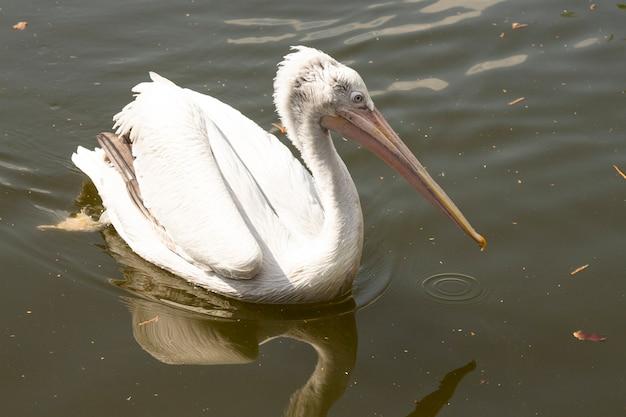 Le grand pélican blanc ou blanc de l'est, le pélican rose ou le pélican blanc est un oiseau de la famille des pélicans. il se reproduit du sud-est de l'europe à l'asie et en afrique dans les marécages et les lacs peu profonds.