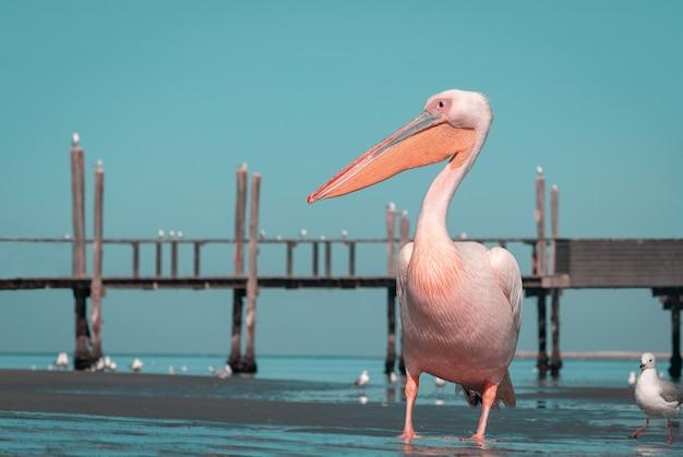 Un grand pélican rose et son reflet dans l'eau claire du lagon