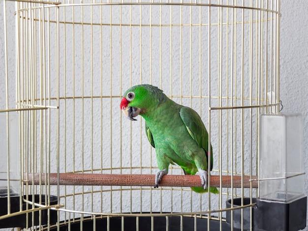 Un grand perroquet vert est assis sur un perchoir dans une cage. le regard intéressé et sournois d'un perroquet.