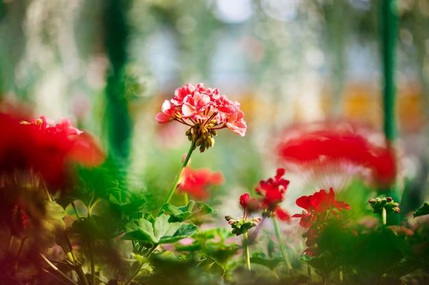 Grand plan, de, fleurs rouges, sur, blury