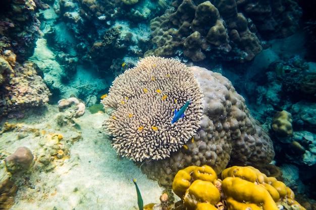 Grand poisson sous-marin de récif de corail autour de coloré, ko lipe, thaïlande