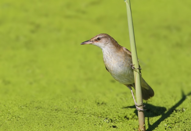 Le grand reed warbler (acrocephalus arundinaceus) sur le roseau vue rapprochée en plein soleil.