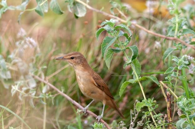 Grand reed warbler acrocephalus arundinaceus se bouchent.