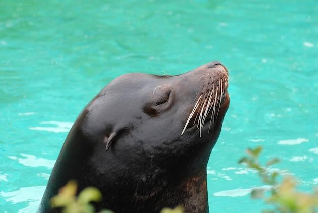 Grand regard sur le profil d'un lion de mer.