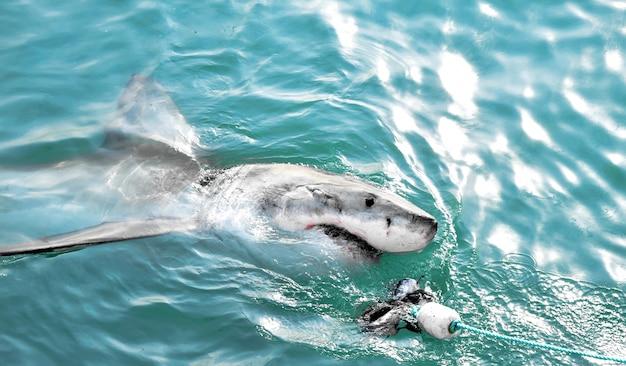 Grand requin blanc chassant un leurre de viande et pénétrant la surface de la mer.