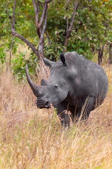Grand rhinocéros blanc près de meru au kenya