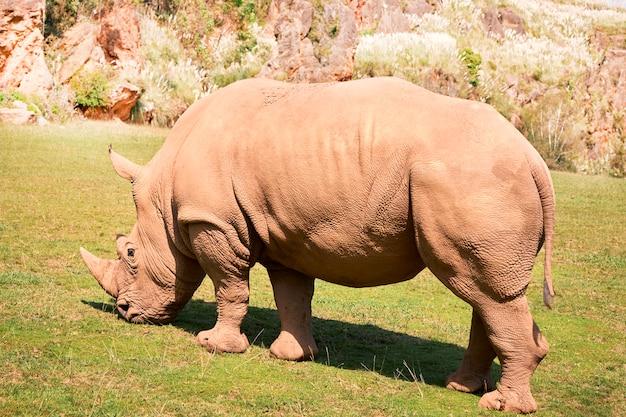Grand rhinocéros blancs mangeant dans une prairie verte