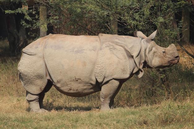 Grand rhinocéros dans un zoo