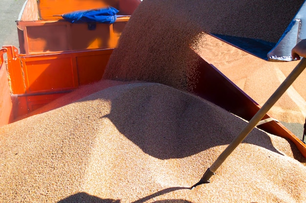 Un grand seau remplit le grain à l'arrière du camion chargeant le gros plan du grain