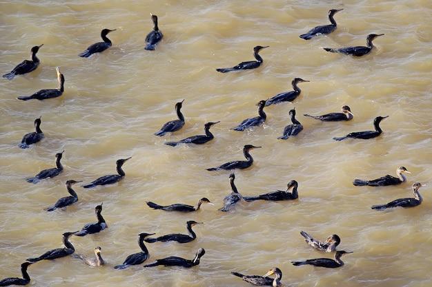 Grand troupeau de cormorans communs