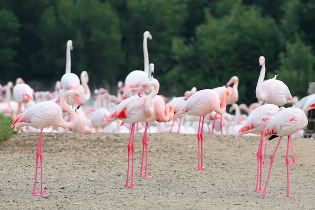 Un grand troupeau de flamants roses se nourrissant sur le rivage