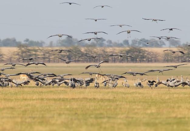 Un grand troupeau de grues grises au lieu de passer la nuit dans la réserve askania nova