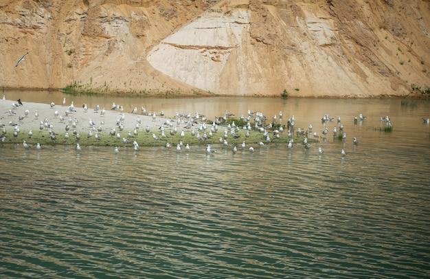 Un grand troupeau de mouettes sur une île au milieu du lac. l'été, plage de sable escarpée. ciel couvert.