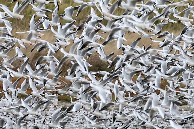 Un grand troupeau de mouettes rieuses au décollage
