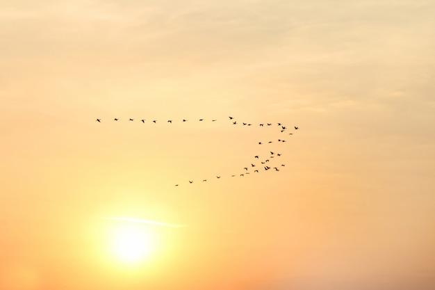 Grand troupeau d'oiseaux volant sur le fond de l'aube solaire