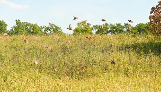 Grand troupeau de perdrix grises volent au-dessus de l'herbe à l'extérieur