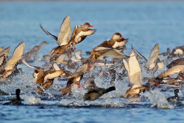 Grand troupeau de pochard à crête rouge (netta rufina) décoller de l'eau
