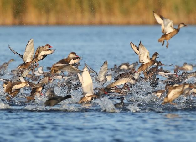 Grand troupeau de pochard à crête rouge (netta rufina) décoller.