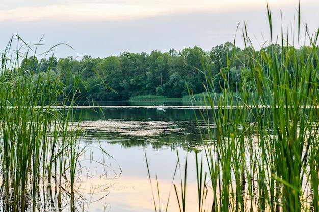 Grande aigrette (ardea alba) sur une rivière dniepr