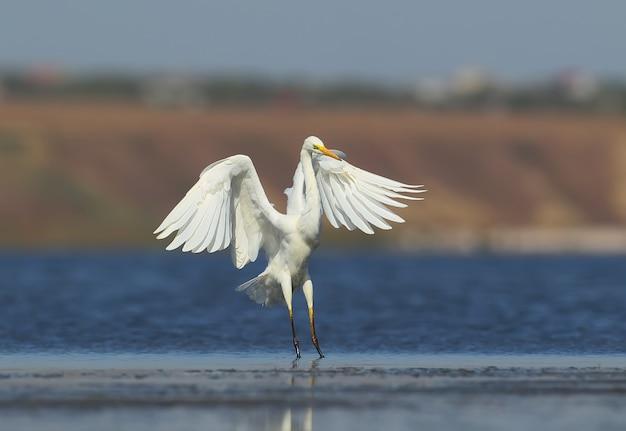 La grande aigrette atterrit sur l'eau bleue à côté d'autres oiseaux et à proximité d'eux
