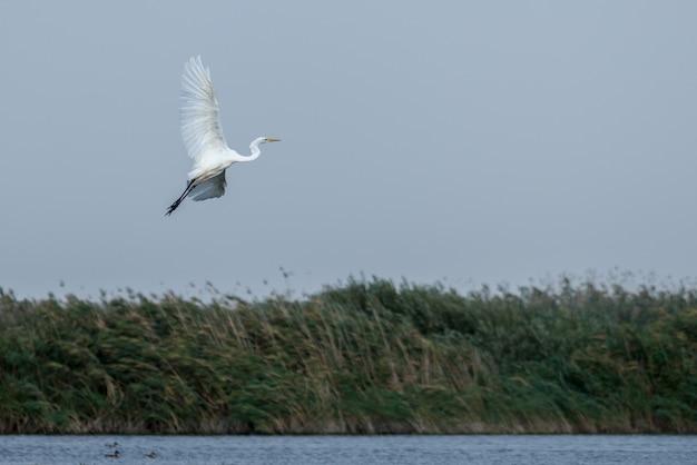 Grande aigrette blanche (egretta alba) dans le delta du danube, roumanie