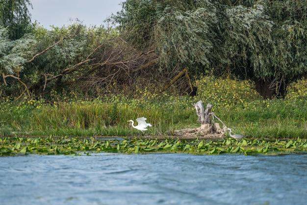 Grande aigrette blanche (egretta alba) et héron cendré (ardea cinerea) dans le delta du danube, roumanie