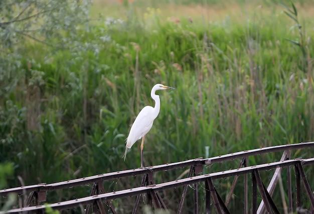 Grande aigrette orientale se dresse sur une clôture de fer en jour de pluie